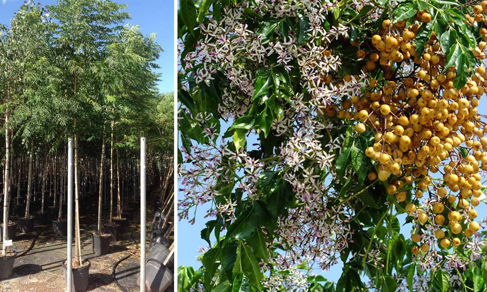 Melia Azedarach (Chinaberry Tree) - Standard