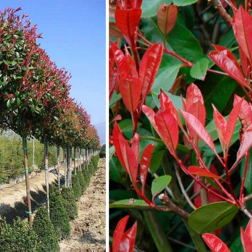 Photinia x Fraseri Red Robin (Christmas Berry Red Robin) - Standard