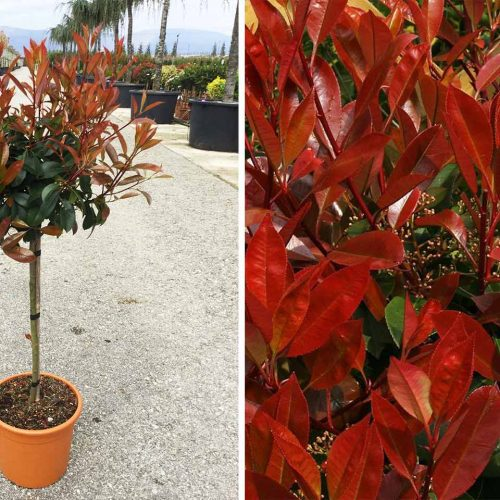 Photinia x Fraseri Red Robin - Quarter Standard