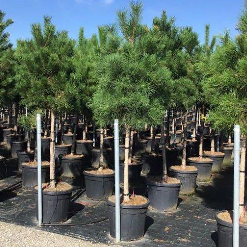 Pinus Nigra Austriaca (Austrian Black Pine) – Half Standard