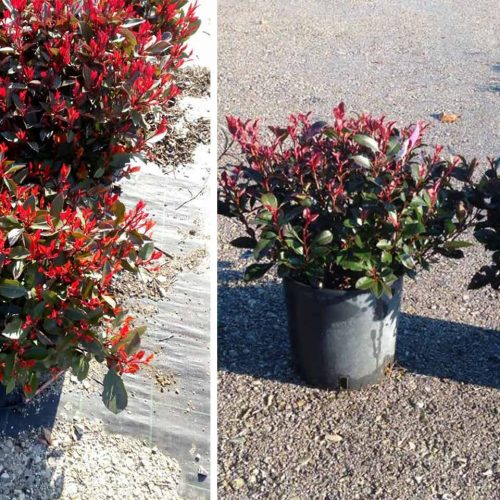 Photinia x Fraseri 'Nana' - Shrub