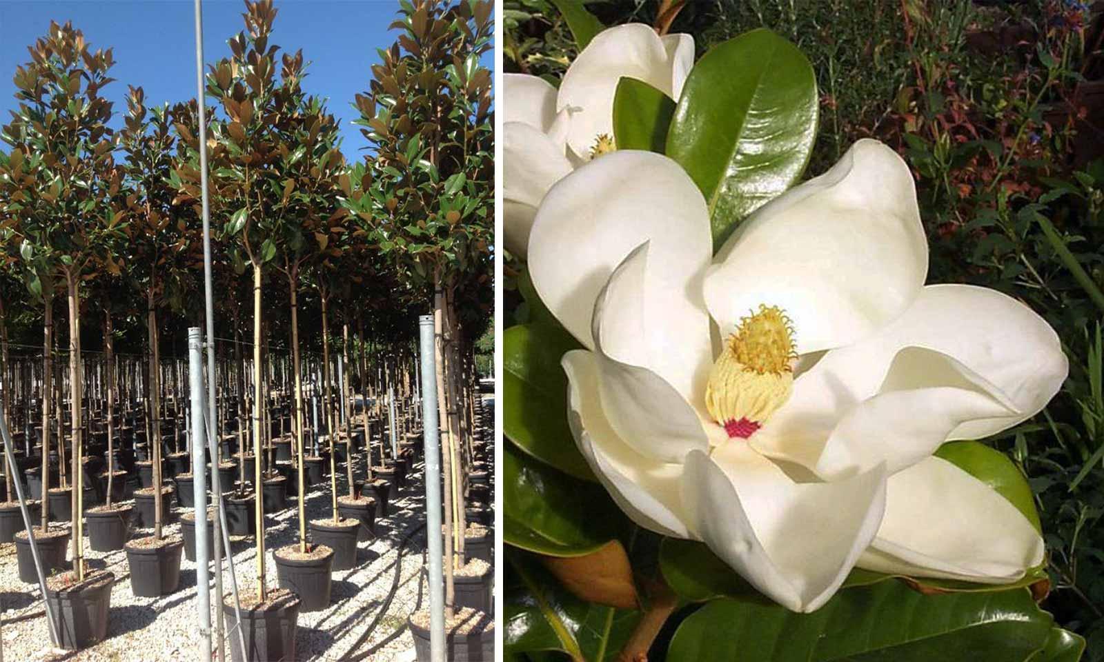 Magnolia Grandiflora Galissoniensis (Southern Magnolia) - Standard