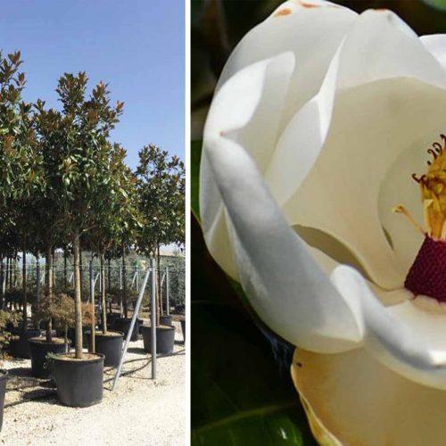 Magnolia Grandiflora Galissoniensis (Southern Magnolia) - Standard Extra