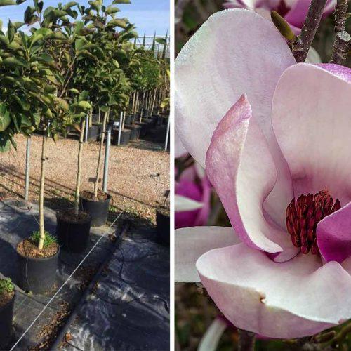 Magnolia x Soulangeana (Saucer Magnolia) - Half Standard