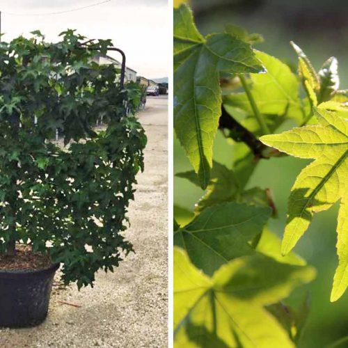 Liquidambar Styraciflua (Sweet Gum Tree) - Espalier