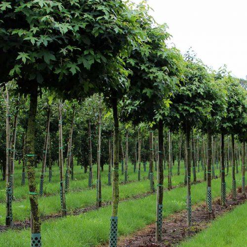 Liquidambar Styraciflua (Sweet Gum Tree) - Standard Ball