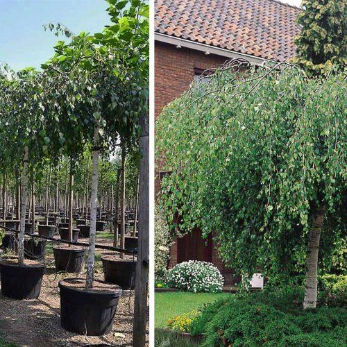 Betula Pendula 'Youngii' (Young's Weeping Birch) – Standard