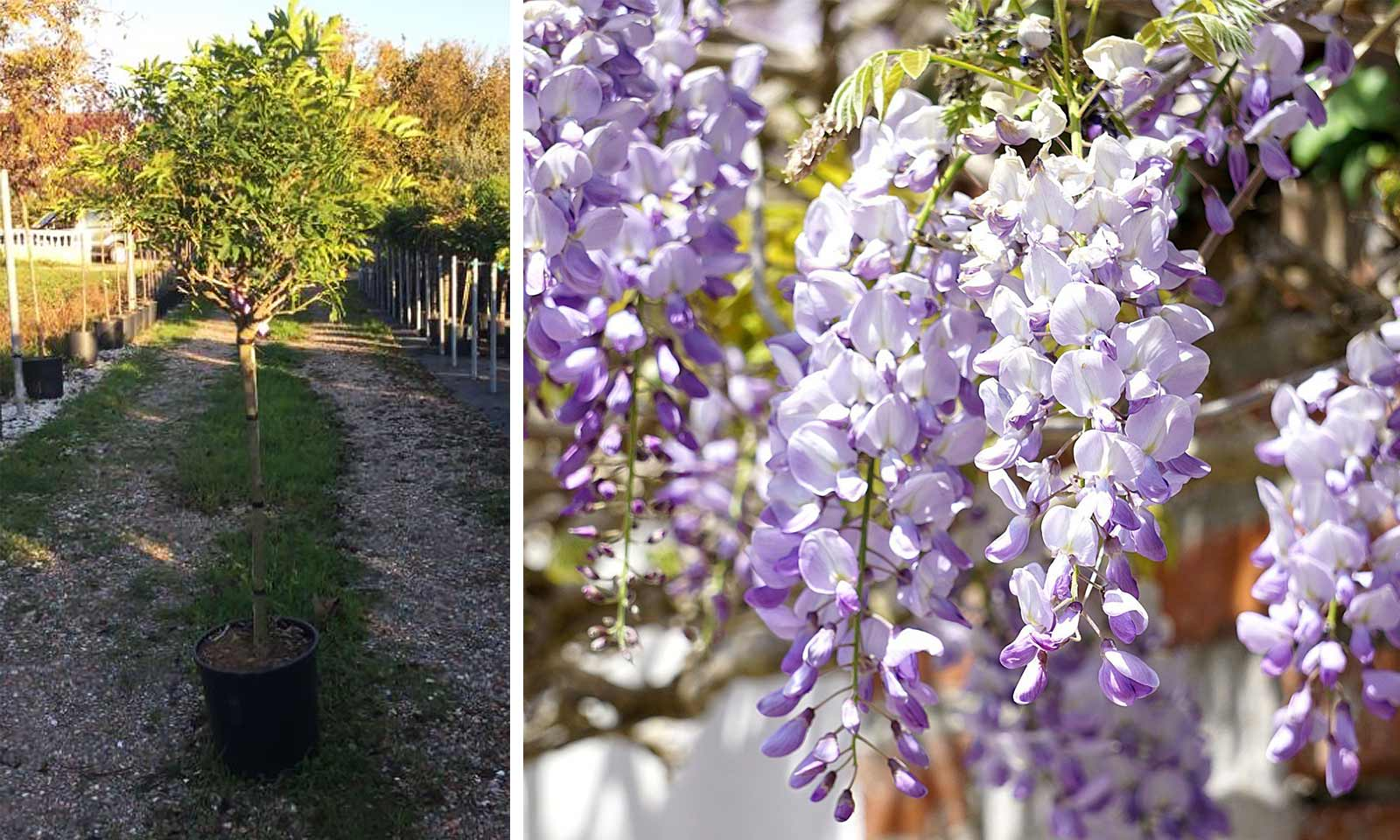 Grafted 6ft Tall Supplied in a 7.5 Litre Pot Extra Large Wisteria Sinensis Prolific Climbing Plant