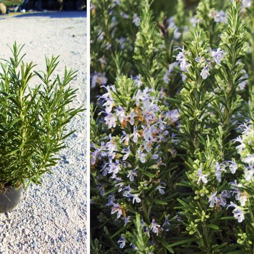Rosmarinus Officinalis (Rosemary Plant) - Shrub