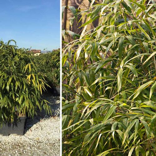 Bambusa Pseudosasa Japonica (Arrow Bamboo) – Instant Hedging