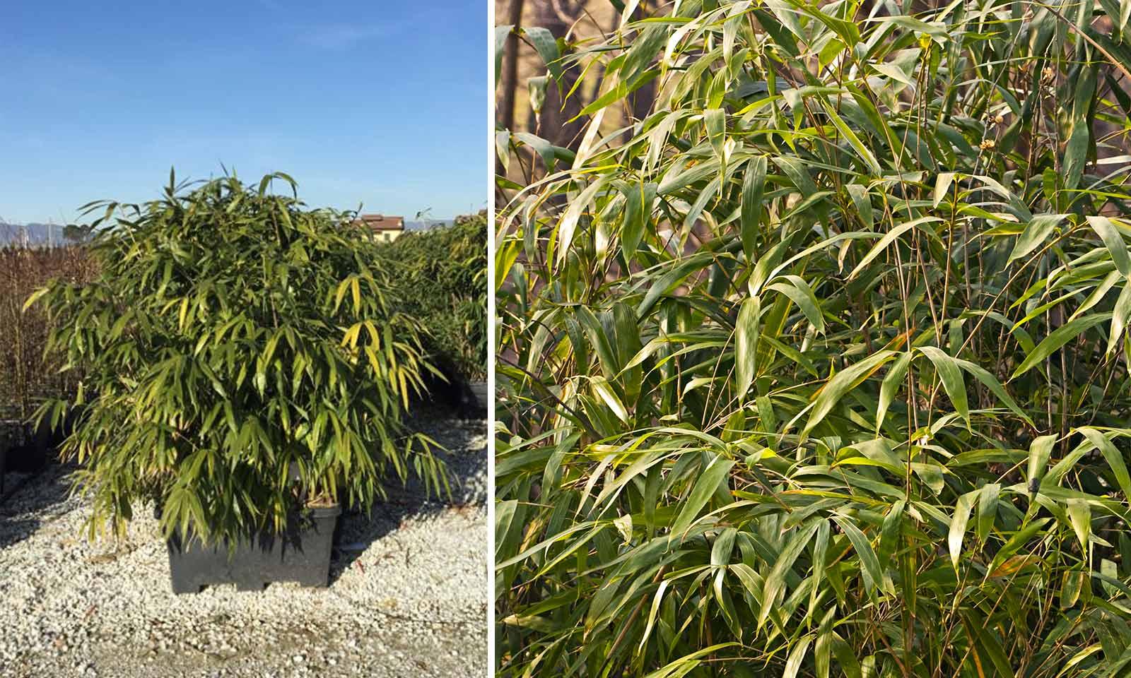 Bambusa Pseudosasa Japonica (Arrow Bamboo) – Instant Hedging