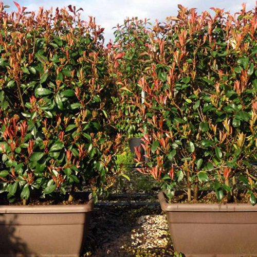 Photinia Serrulata Red Robin (Christmas Berry) – Instant Hedging