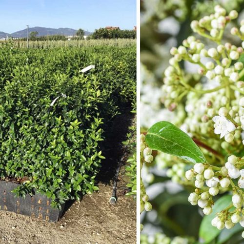 Viburnum Tinus Eve Price (Laurustinus) – Instant Hedging