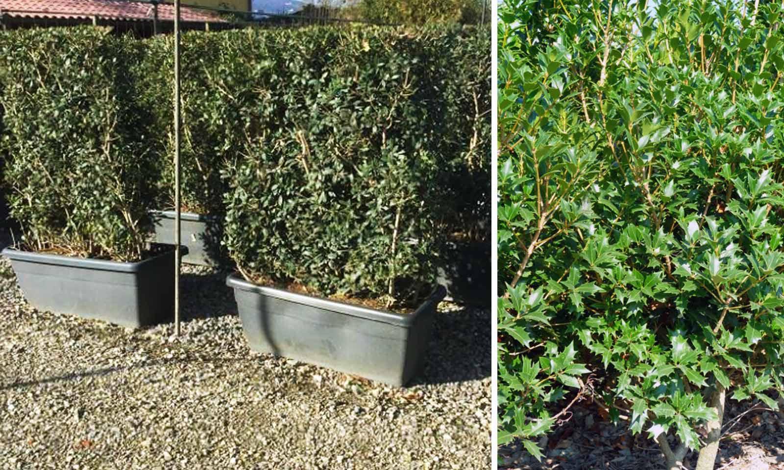 Osmanthus Heterophyllus (Hiiragi / Holly Olive ) – Instant Hedging
