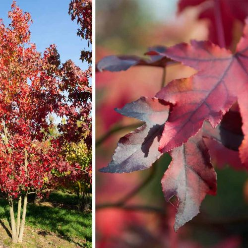 Liquidambar Styraciflua (Sweet Gum Tree) - Multi-Stem