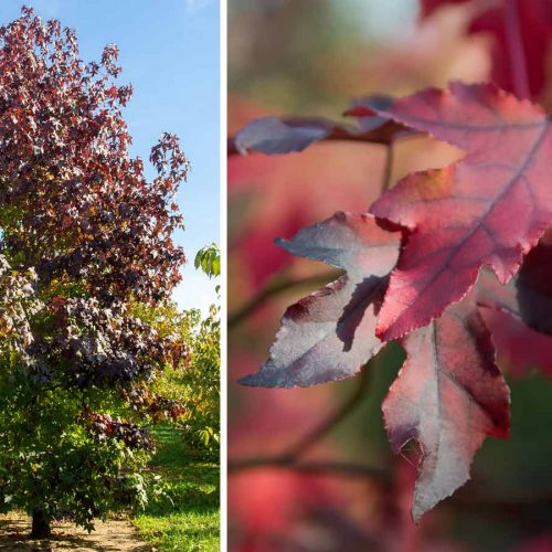 Liquidambar Styraciflua (Sweet Gum Tree) - Feathered