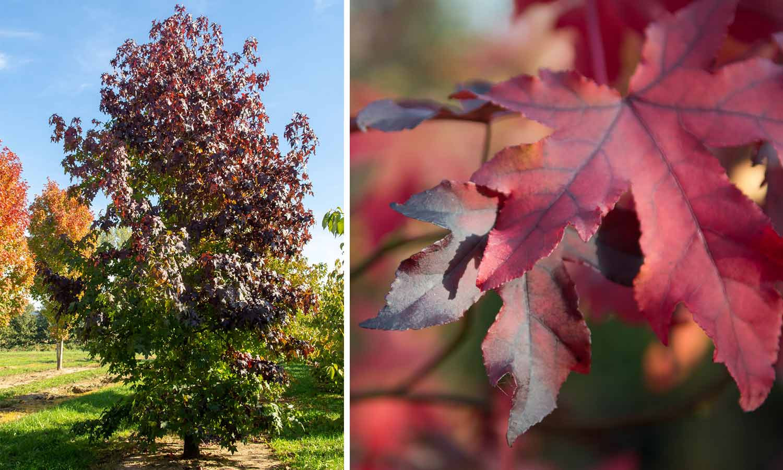 Liquidambar Styraciflua (Sweet Gum Tree) - Feathered