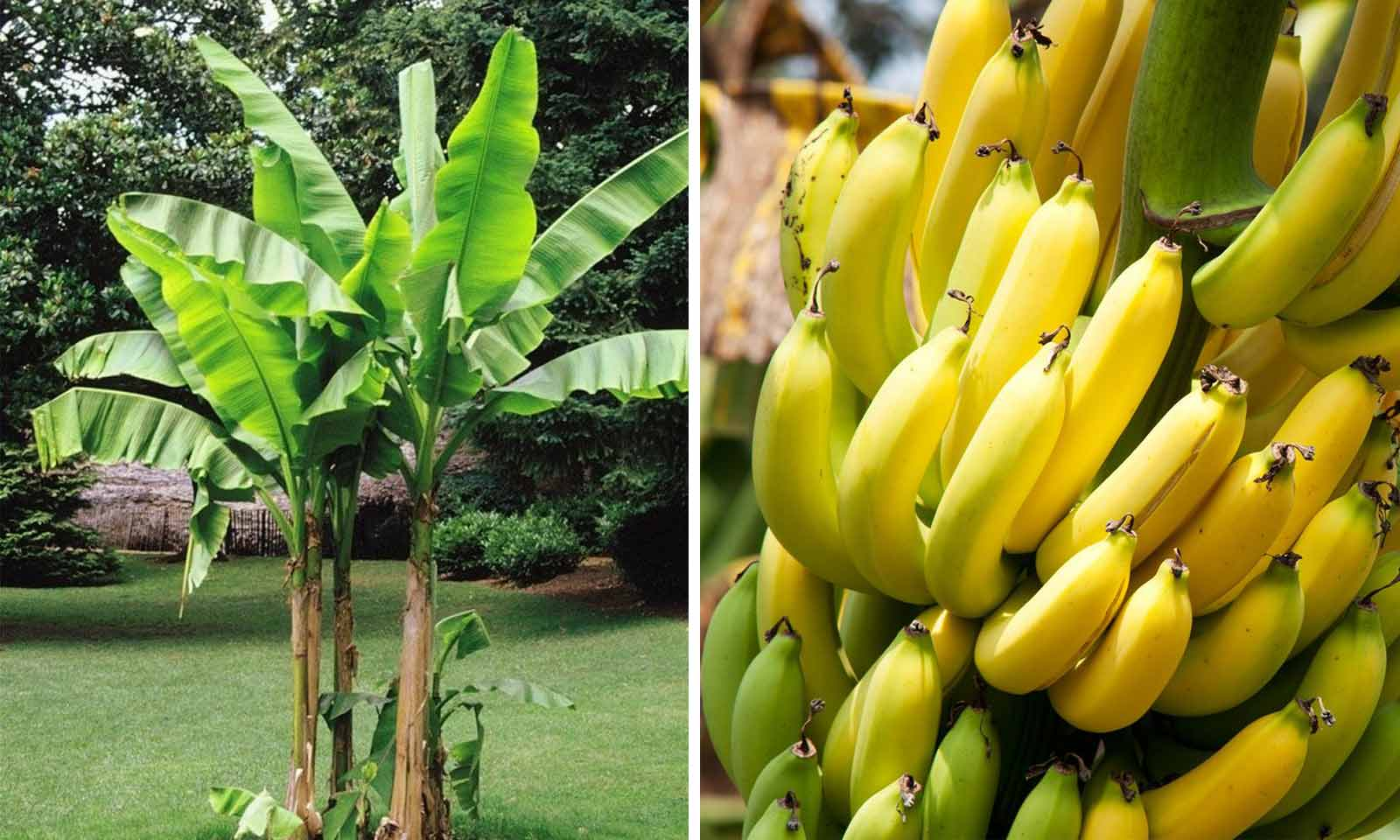 Musa Basjoo (Banana-tree)