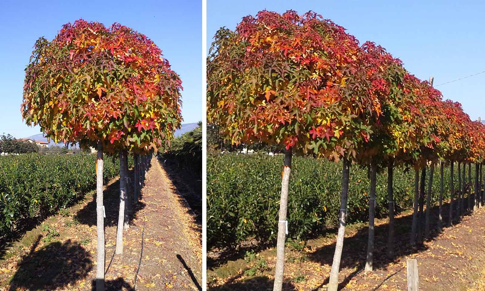 Liquidambar Styraciflua Gum Ball (Sweet Gum Tree) - Half Standard