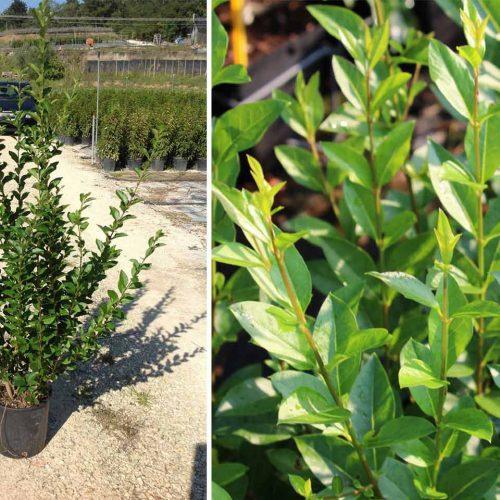 Ligustrum Ovalifolium (Oval-Leaf Privet) - Shrub