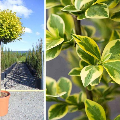 Ligustrum Ovalifolium 'Aureum' (Oval-Leaf Privet 'Aureum') - Half Standard