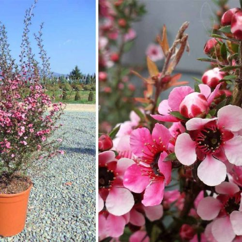 Leptospermum Scoparium (Tea Tree) - Shrub