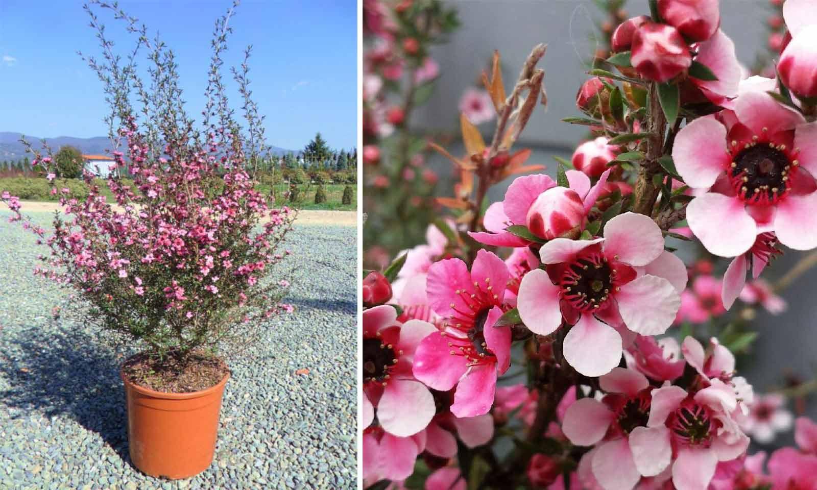 Leptospermum Scoparium (Tea Tree) - Shrub