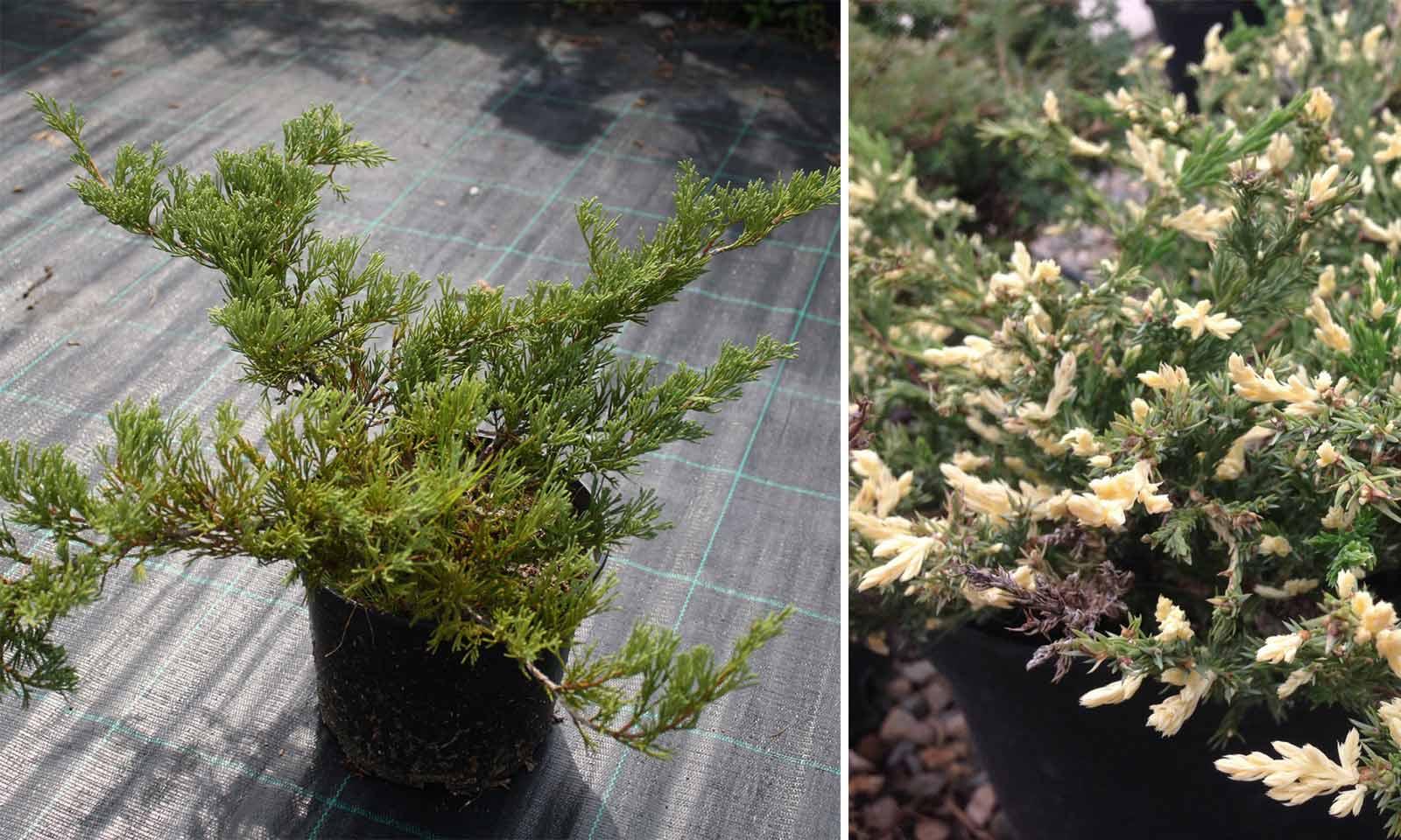 Juniperus Horizontalis 'Andorra Compacta Variegata' (Juniper 'Andorra Compacta Variegata')
