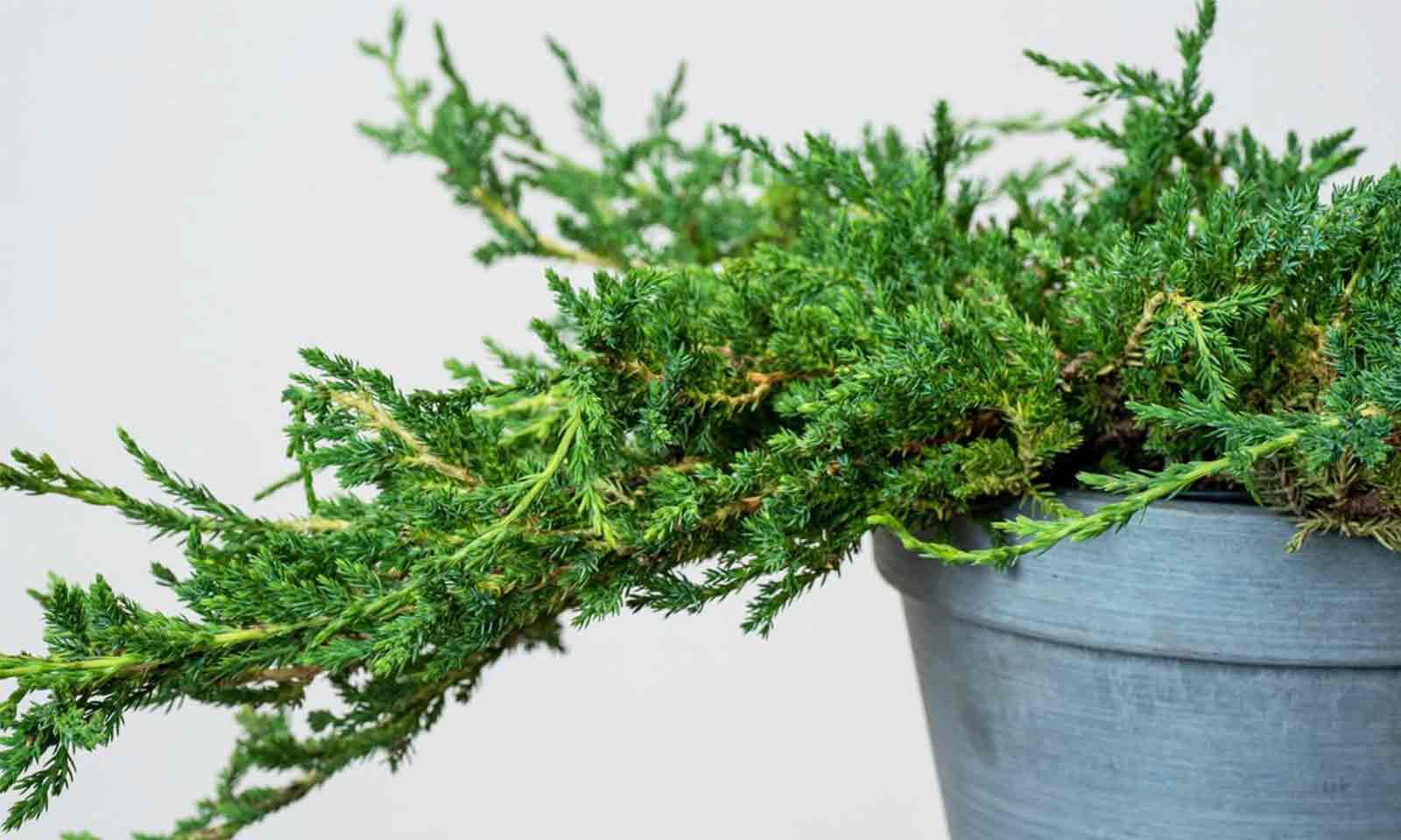 Juniperus Horizontalis 'Prince Of Wales' (Juniper 'Prince Of Wales')