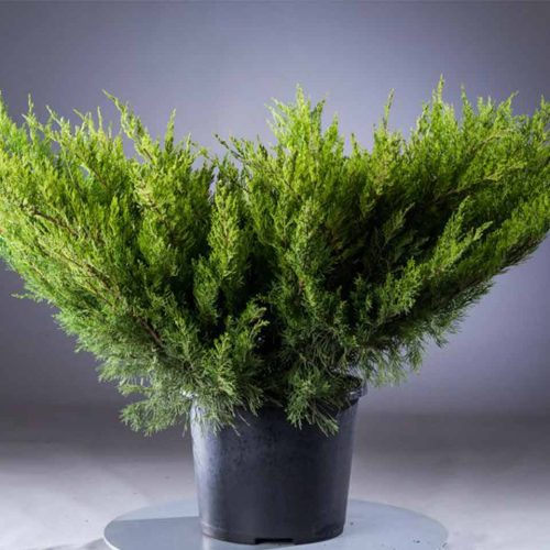 Juniperus x Media 'Mint Julep' (Juniper 'Mint Julep')