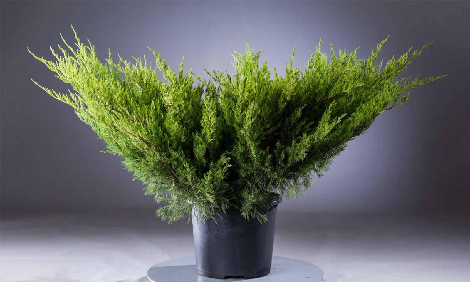 Juniperus x Media 'Mint Julep' (Juniper 'Mint Julep')