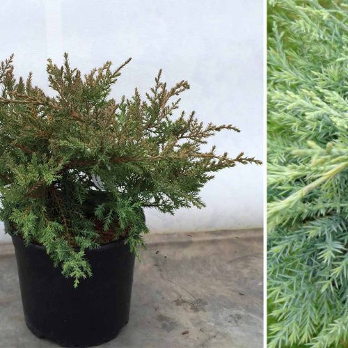 Juniperus x Media 'Pfitzeriana Compacta' (Juniper 'Pfitzeriana Compacta')