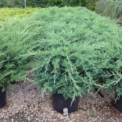 Juniperus x Media 'Pfitzeriana Glauca' (Juniper 'Pfitzeriana Glauca')