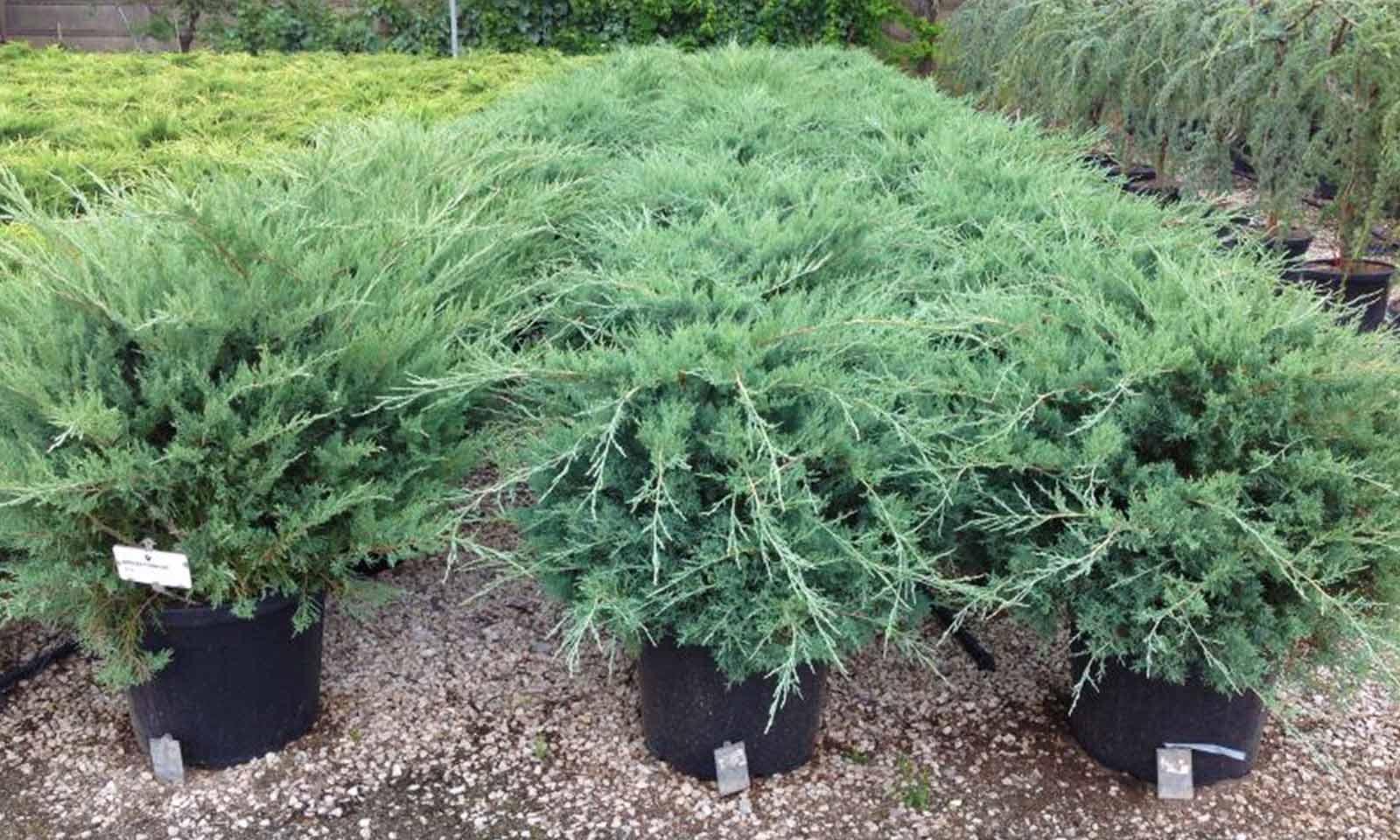 Juniperus x Media 'Pfitzeriana Glauca' (Juniper 'Pfitzeriana Glauca')