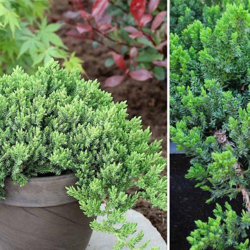 Juniperus Procumbens 'Nana' (Dwarf Juniper 'Nana')