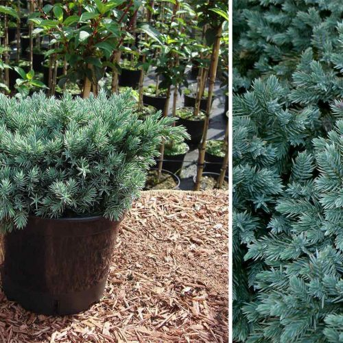 Juniperus Squamata 'Blue Star' (Juniper 'Blue Star')