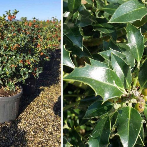 Ilex Aquifolium 'Alaska' (Holly 'Alaska') - Shrub