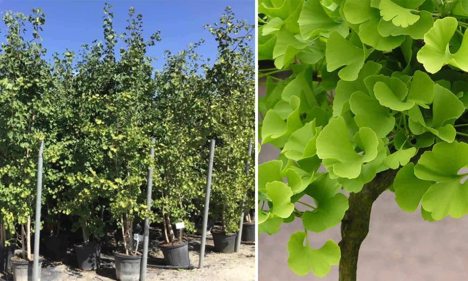 Ginkgo Biloba (Maidenhair Tree) - Multi-Stem