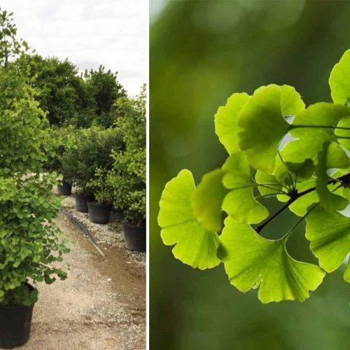 Ginkgo Biloba 'Fastigiata Blagon' (Maidenhair Tree 'Fastigiata Blagon') - Single Stem Tree