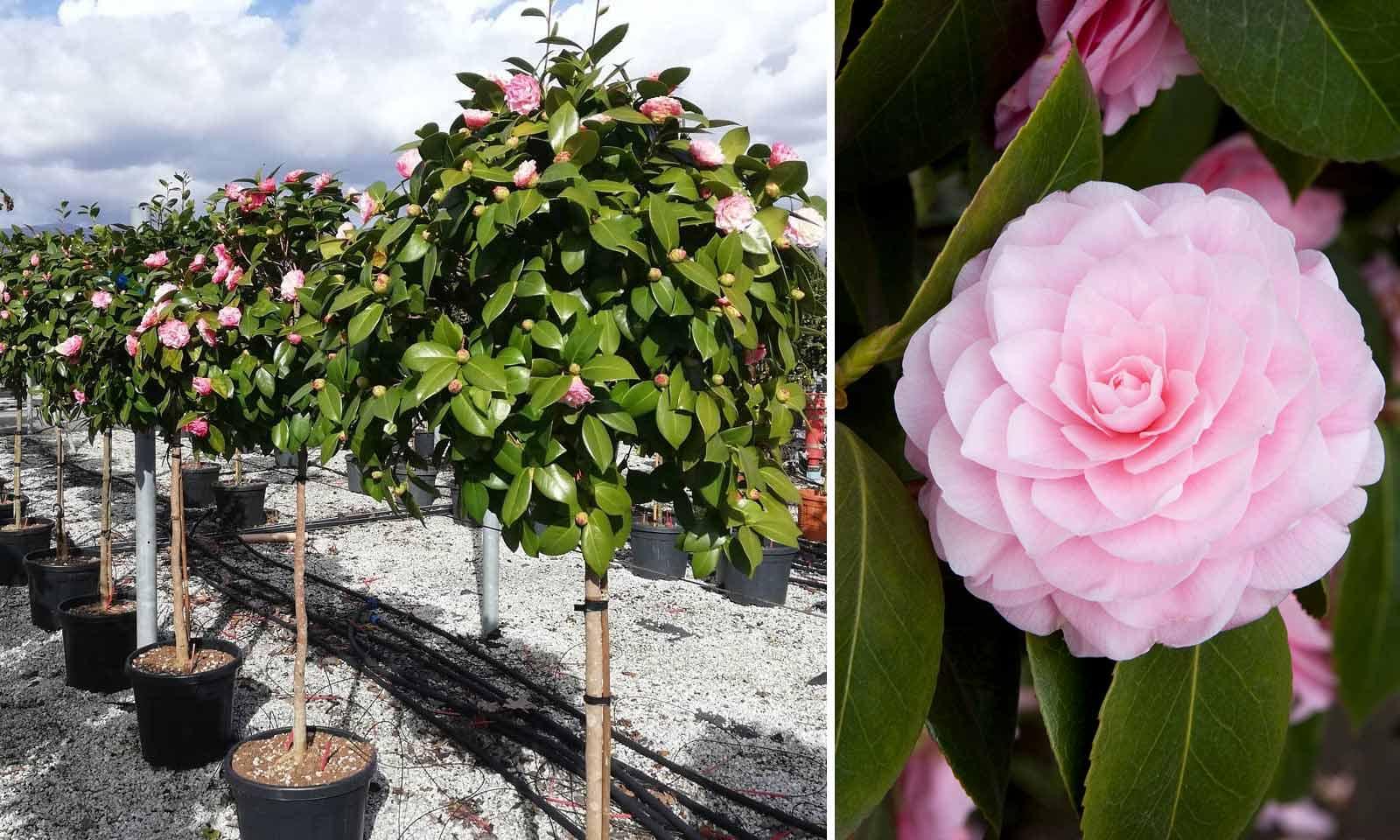 Camellia Japonica (Japanese Rose) - Haf Standard