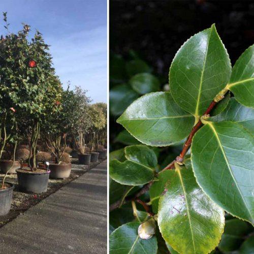 Camellia Japonica (Japanese Rose) - Multi-Stem Extra