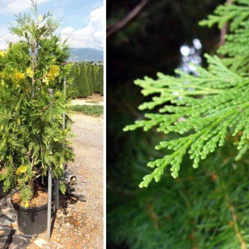 Calocedrus Decurrens 'Aureovariegata' (Variegated Incense Cedar) - Shrub