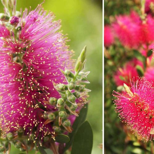 Callistemon Viminalis 'Hot Pink' (Bottlebrush 'Hot Pink') - Shrub
