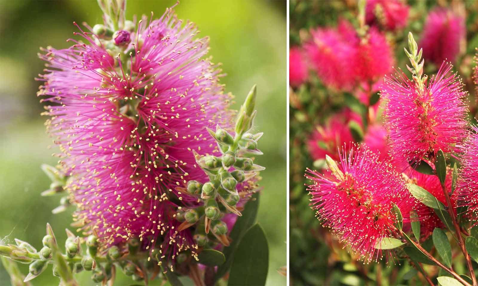 Callistemon Viminalis 'Hot Pink' (Bottlebrush 'Hot Pink') - Shrub