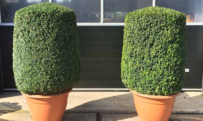 Buxus Sempervirens (Common Box) - Cylinder