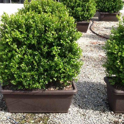 Buxus Microphylla Faulkner (Box Faulkner) - Instant Hedging