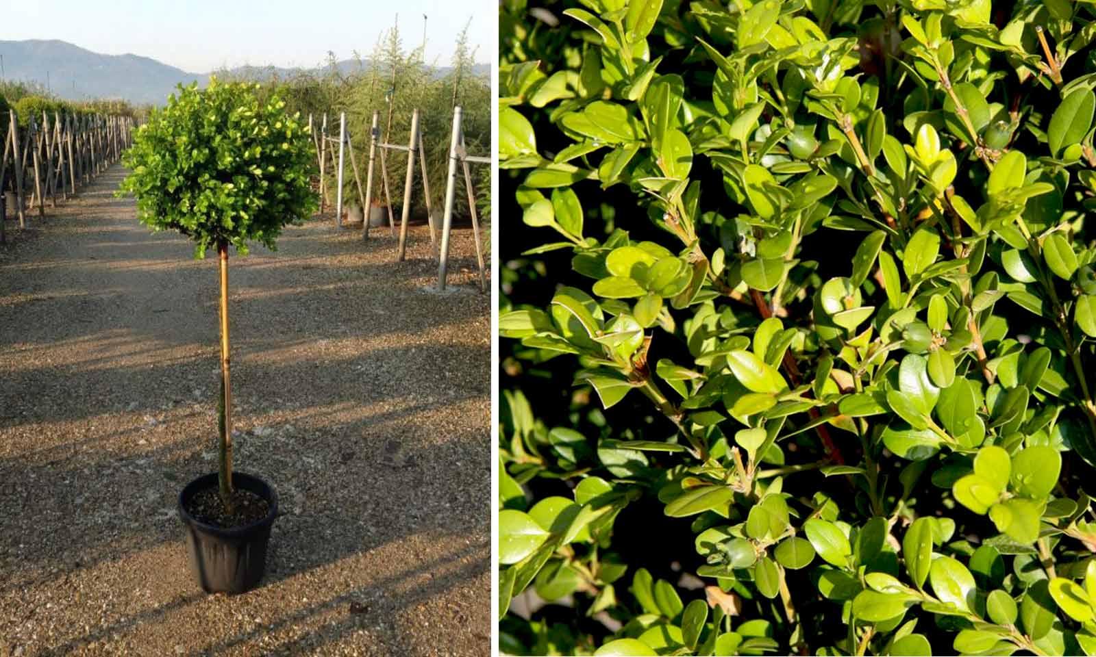 Buxus Microphylla Faulkner (Box Faulkner) - Half Standard