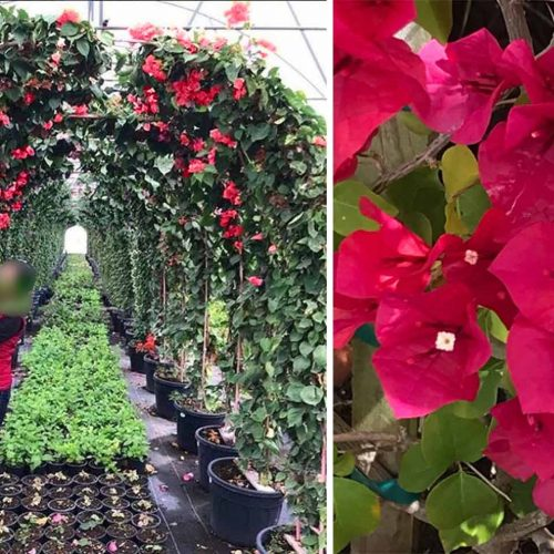 Bougainvillea Scarlet O'hara (San Diego Red) - Arch