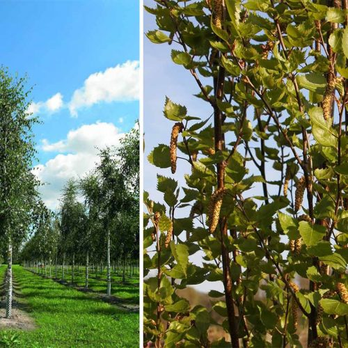 Betula Pendula 'Fastigiata' (Silver Birch) - Single Stem