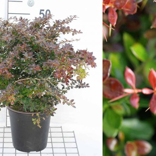 Berberis x Media 'Red Jewel' (Barberry 'Red Jewel') - Shrub